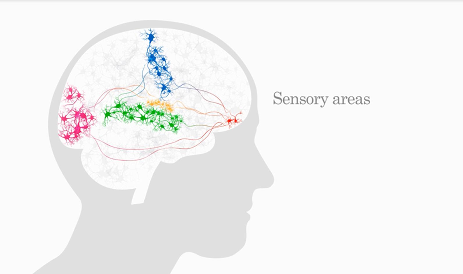 Synesthesia- Sensory areas of the brain