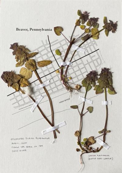 Quarantine Hebarium, Purple Dead-Nettle